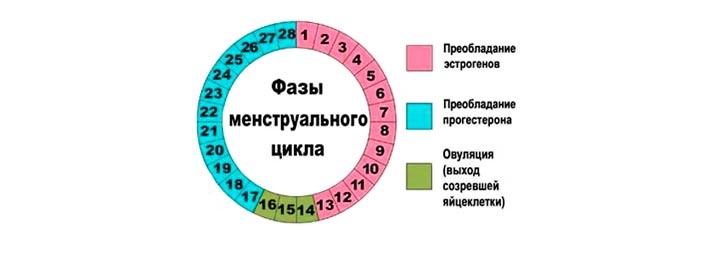 фазы менструации