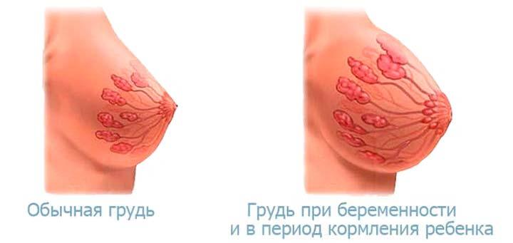 молочная железа в норме и при беременности
