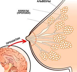 выработка пролактина