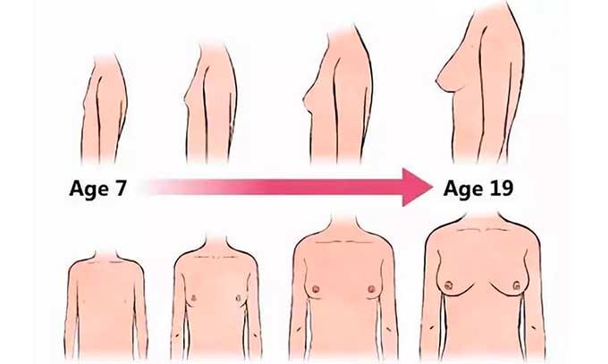 процесс формирования груди у девочек