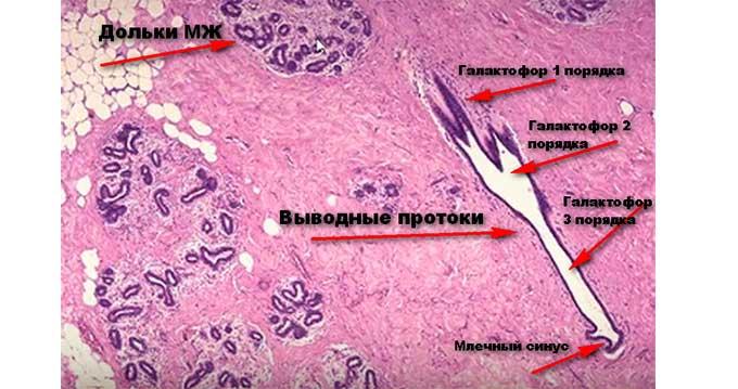 Гистологическая структура молочных желез