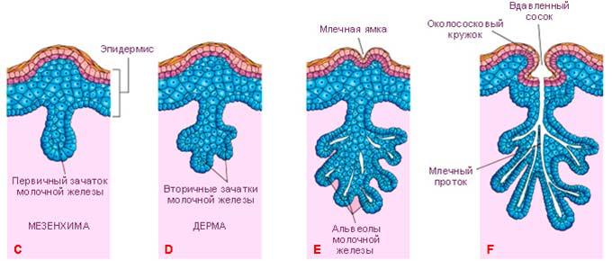 Развитие молочной железы