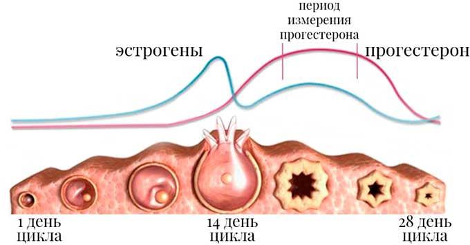 Изменение уровня прогестерона во время цикла