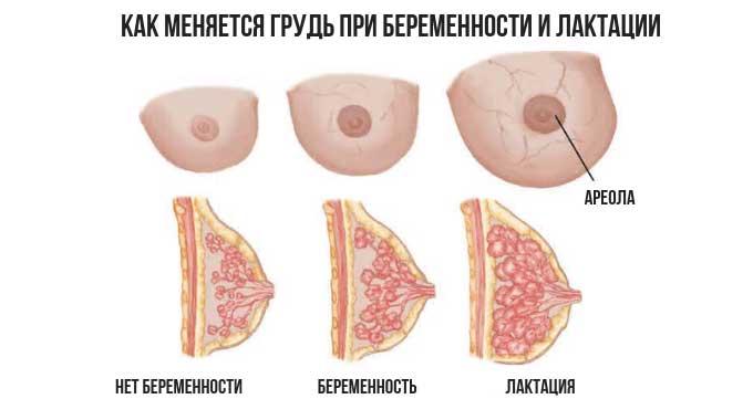 Изменение груди при беременности и лактации