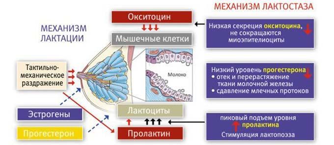 Механизм развития лактостаза