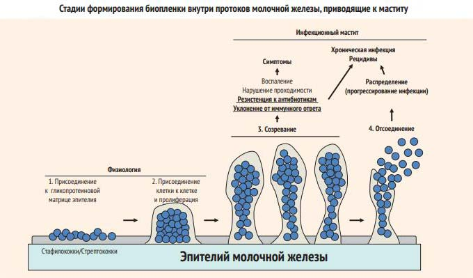 Механизм развития мастита